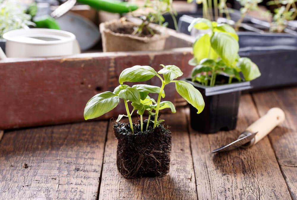 Aromatiska växter som står på bordet.