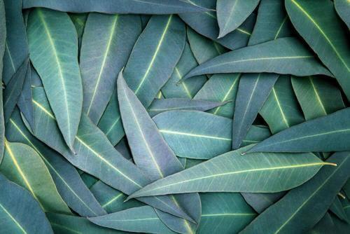 5 kurer baserade på eukalyptus mot andningsproblem