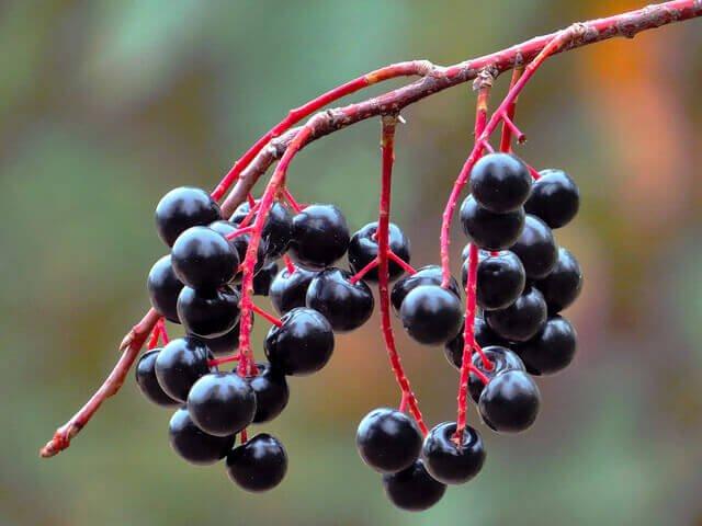 Fläderbär kan motverka bronkiektasi