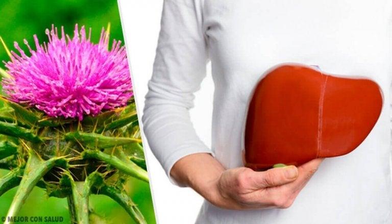 Mariatistel: en växt med fantastiska fördelar