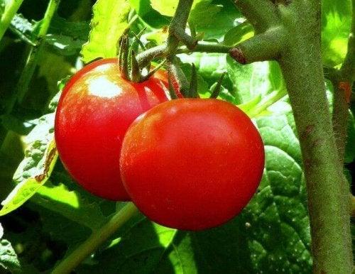 Tomater är en grönsak med högt fiberinnehåll