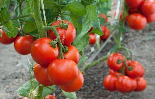 för växter tomat