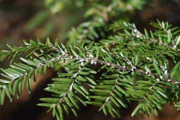 Bli av med insekter på plantor inomhus med ättika