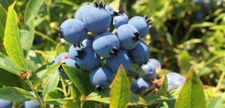 Prova odla dina egna blåbär