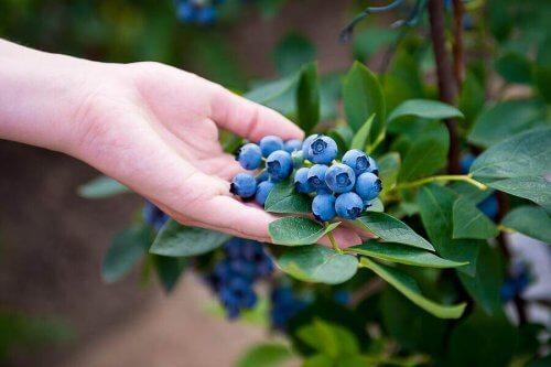Hur du gör för att odla dina egna blåbär