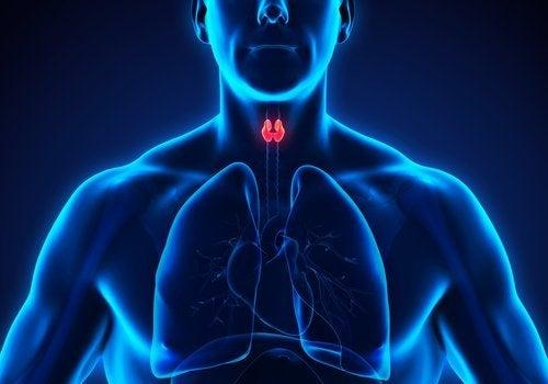 din sköldkörtel kroppen