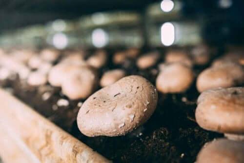 Råd och tips för att odla svamp i hemmet