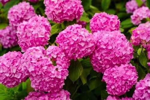 Hortensia är en av de farliga växter du inte bör ha hemma