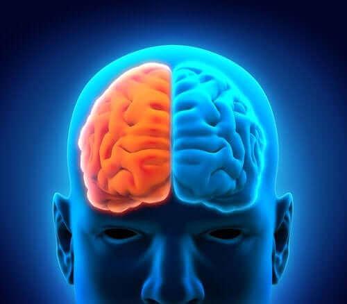 De två hjärnhalvorna