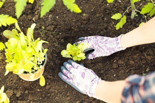 Omplantering till jord