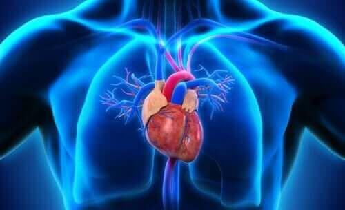 Hjärtats uppbyggnad
