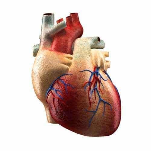 Delarna av hjärtat och deras funktioner