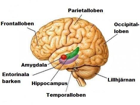 Hjärnloberna i detalj