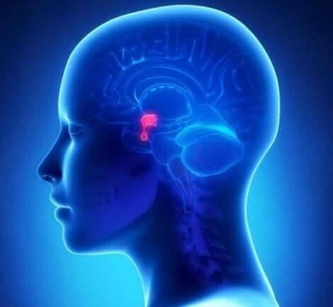 Hypofysen i hjärnan
