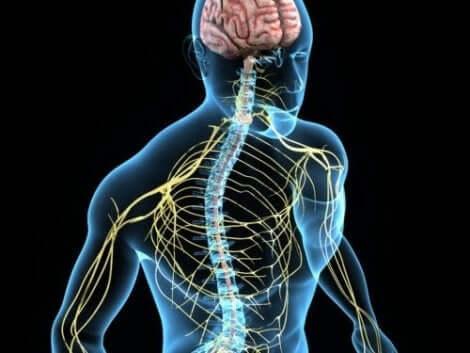 Kroppens nervsystem