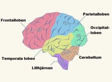 delar av hjärnan