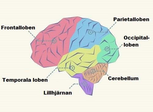 Vilka är de olika loberna i hjärnan?