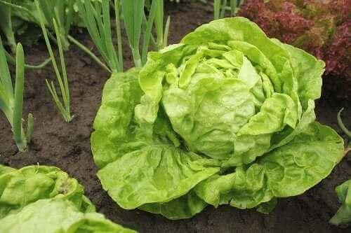Typer av sallat och hur man odlar dem
