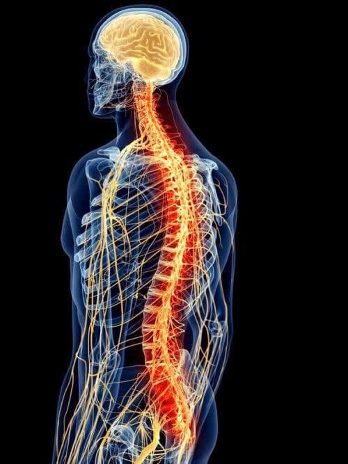 ryggmuskulatur och ryggrad