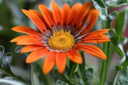 Gazania är en av sommarens blommor