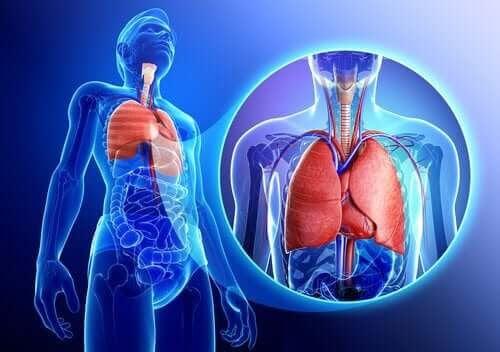 illustration av lungor och luftvägar