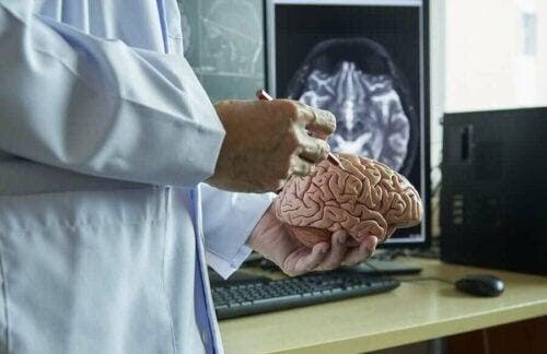 allt om hjärnhinnorna: forskare med modell av hjärna