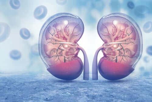 Illustration av kroppens njurar.