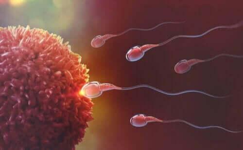 Spermier befruktar ett ägg.