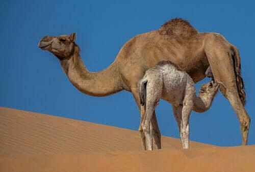 Egenskaperna och fördelarna med kamelmjölk