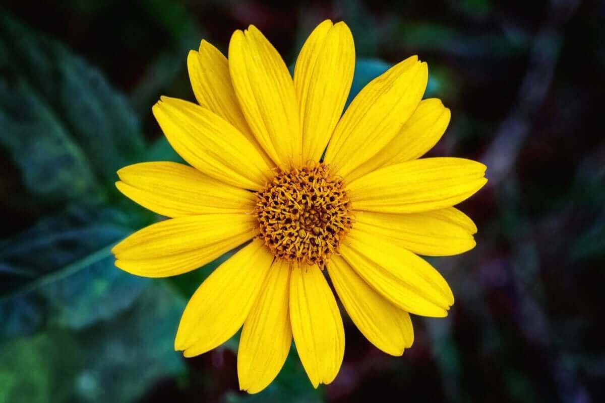 blomma av arnika
