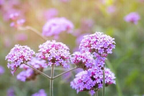 Medicinalväxten järnört: egenskaper och användningsområden