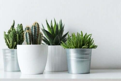 tåliga växter: kaktusar