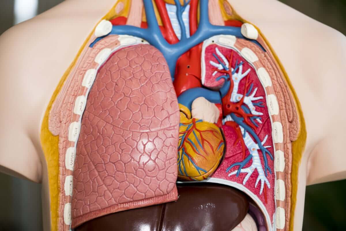 modell med lungor