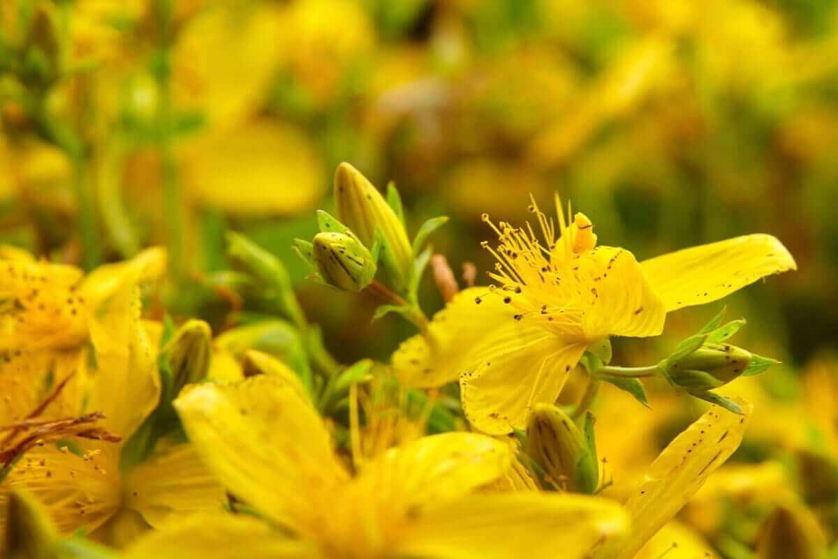 medicinalväxterna med vetenskapliga bevis: johannesört
