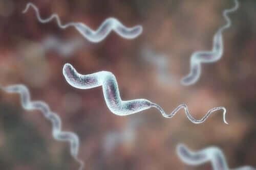 Campylobacterbakterie